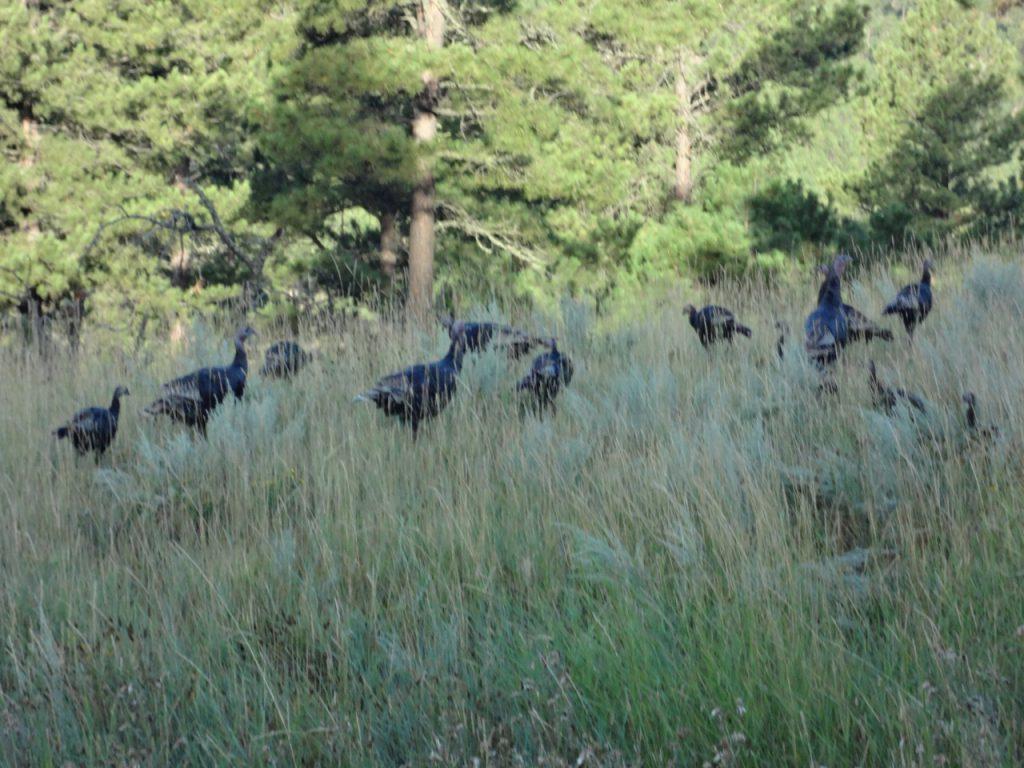 Wild Turkeys or whatever